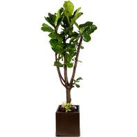 떡갈잎고무나무 대형