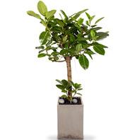 뱅갈고무나무 특