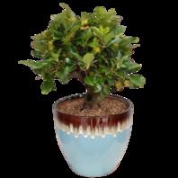 꽃사과분재(애기사과)